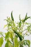 Peperoncino verde su fondo bianco Immagini Stock