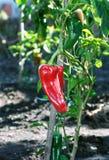 Peperone dolce rosso dolce durante la maturazione su un cespuglio Fotografie Stock Libere da Diritti