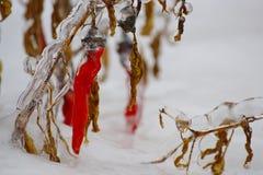 Peperone in neve e ghiaccio Fotografia Stock Libera da Diritti