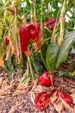 Peperoni appassiti Fotografie Stock