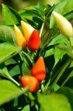 peperoni caldi del Cile Immagini Stock Libere da Diritti