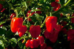 Peperoni del Habanero Fotografia Stock Libera da Diritti