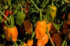 Peperoni del Habanero Immagine Stock