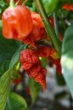 Peperoni di peperoncini rossi caldi Immagine Stock Libera da Diritti