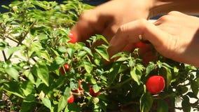 Peperoni di raccolto della mano video d archivio