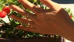 Peperoni di raccolto della mano stock footage