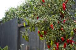 Peperoni di Serrano Fotografia Stock