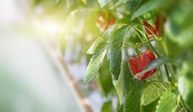 Peperoni dolci rossi che crescono su una pianta Fotografie Stock