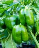 Peperoni dolci verdi che crescono nel giardino Fotografia Stock