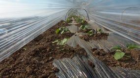 Peperoni nel dispositivo d'avviamento della serra Fotografia Stock Libera da Diritti