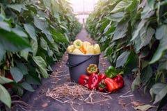 Peperoni organici maturi in serra commerciale fotografie stock libere da diritti