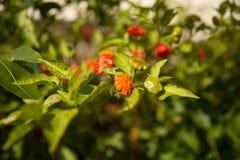 Peperoni su un ramo Fotografie Stock