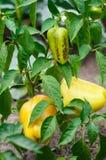 Peperoni verdi e gialli che crescono in un giardino Immagini Stock Libere da Diritti