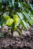 Peperoni verdi sul cespuglio Prodotto di fattoria naturale fotografia stock