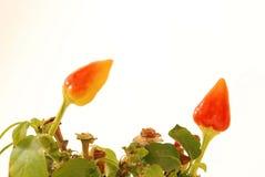 Pepers Imagenes de archivo