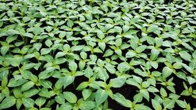 Peperzaailingen in een serre Het kweken van zaailingen in de serre paprika stock footage