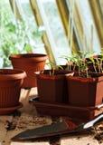 Peperzaailingen in potten Royalty-vrije Stock Foto's