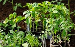 Peperzaailingen, tomatenzaailingen, close-up van jonge bladeren van peper, verse de lenteachtergrond royalty-vrije stock fotografie