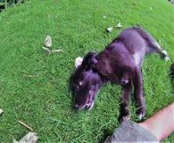 Pepi fatigué Photos libres de droits