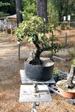 Pepiniera szklarniani bonsai Fotografia Royalty Free