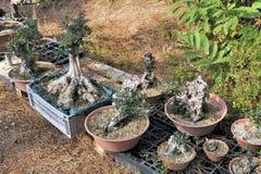 Pepiniera szklarniani bonsai Obraz Stock