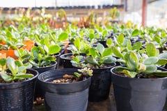 Pepiniery roślina w czarnym garnku w domu ogródzie Obraz Stock