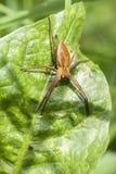 Pepiniery sieci pająk Obrazy Royalty Free