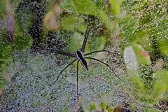 Pepiniery sieci pająk Zdjęcie Royalty Free