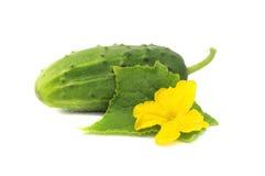 Pepino con la hoja y la flor verdes Imágenes de archivo libres de regalías