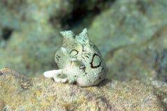 Pepino de mar Fotos de archivo libres de regalías