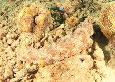 Pepino de mar imagem de stock royalty free
