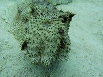Pepino de mar Imagens de Stock