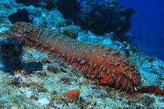 Pepino de mar de la piña foto de archivo