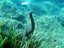 Pepino de mar del tubulosa del Holothuria Foto de archivo
