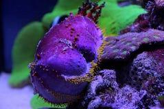 Pepino de mar entre corais Fotos de Stock Royalty Free