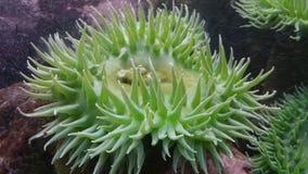 Pepino de mar verde Fotografía de archivo libre de regalías