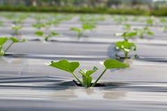 Pepino dos vegetais Imagens de Stock
