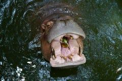 Pepino en boca del hipopótamo Foto de archivo