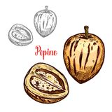 Pepino Fruit Or Exotic Melon Pear Sketch Design Royalty Free Stock Photography