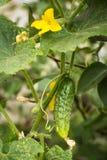 Pepino joven en un arbusto floreciente en jardín del verano Imágenes de archivo libres de regalías