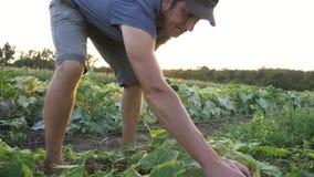 Pepino masculino joven de la cosecha del granjero en la granja orgánica del eco almacen de video