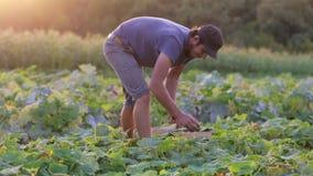 Pepino masculino joven de la cosecha del granjero en la granja orgánica del eco almacen de metraje de vídeo