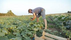 Pepino masculino joven de la cosecha del granjero en la granja orgánica del eco foto de archivo