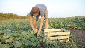 Pepino masculino joven de la cosecha del granjero en la granja orgánica del eco fotografía de archivo