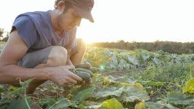 Pepino masculino joven de la cosecha del granjero en la granja orgánica del eco fotos de archivo libres de regalías