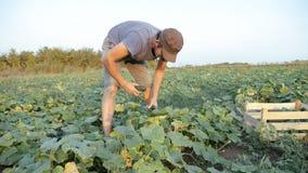Pepino masculino joven de la cosecha del granjero en la granja orgánica del eco fotografía de archivo libre de regalías