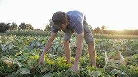Pepino masculino joven de la cosecha del granjero en la granja orgánica del eco imagen de archivo libre de regalías