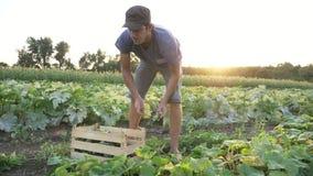 Pepino masculino novo da colheita do fazendeiro na exploração agrícola orgânica do eco filme