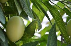 Pepino Melon encontrou em Cameron Highlands fotografia de stock