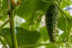 Pepino que crece en el jardín Imagen de archivo libre de regalías